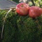413-grow-apple-centerpiece-copy_600main