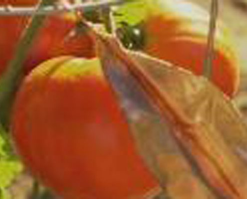 403-grow-tomato-copy_600main